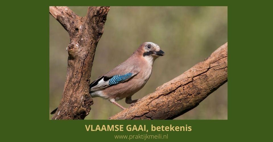 Vlaamse Gaai, spirituele betekenis